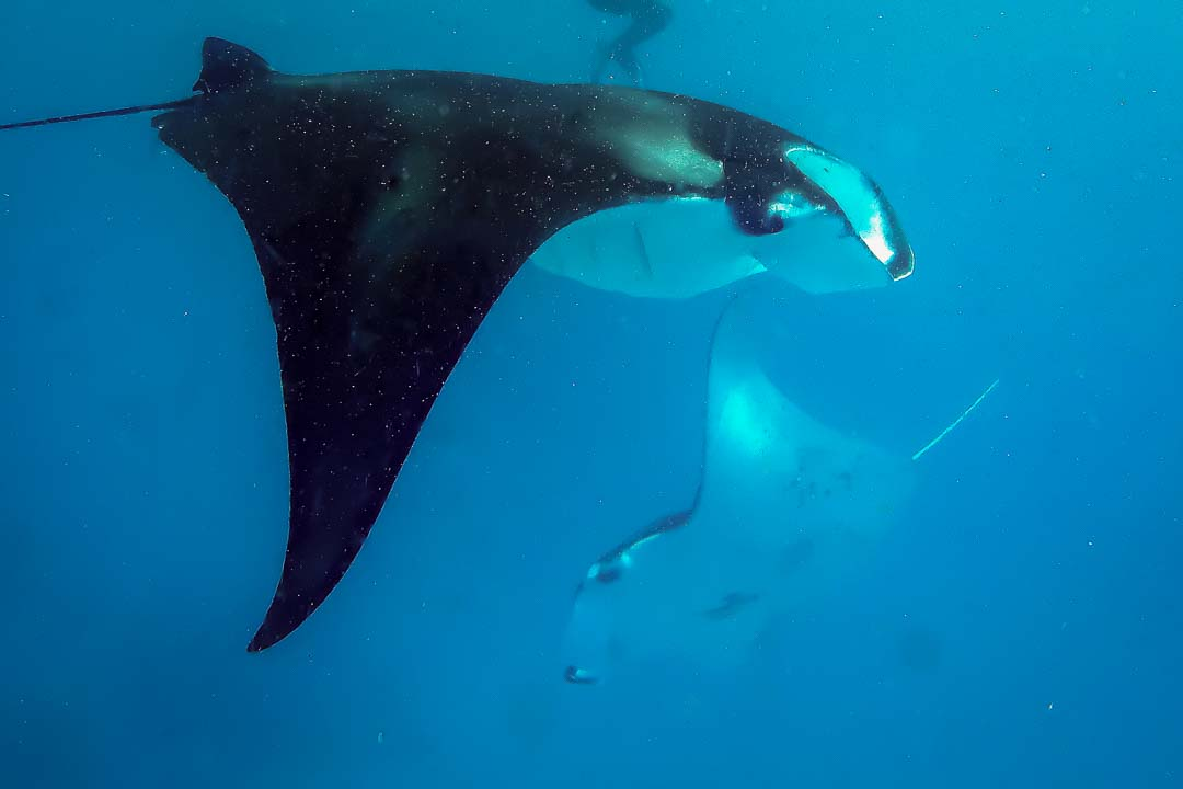 Chathu marine biology interns Maldives - manta2