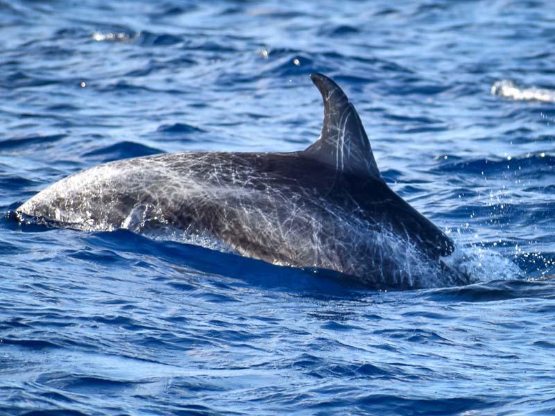 Dolphin ID – resighting of Bella (SL091) [KH 2019.04]