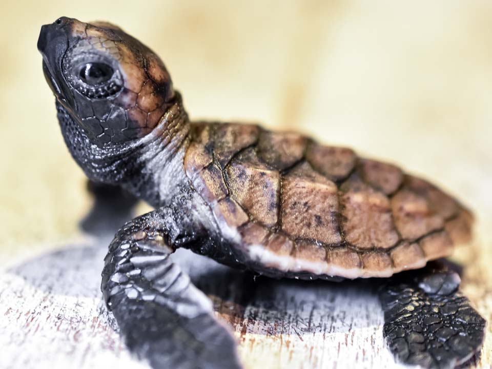 Muppets – green turtle rescue hacthlings Marine Savers Maldives (4)