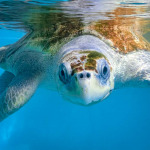 Peggy rescue turtle Marine Savers Maldives
