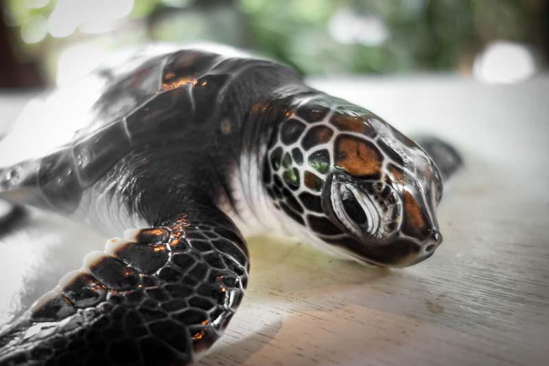 Muppets – green turtle rescue hacthlings Marine Savers Maldives (1)
