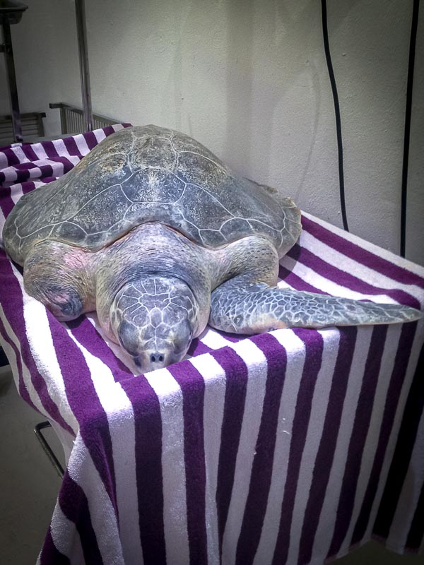 Varu rescue turtle Marine Savers Maldives (2)