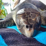 Erica injured Olive Ridley turtle rescue Maldivesv
