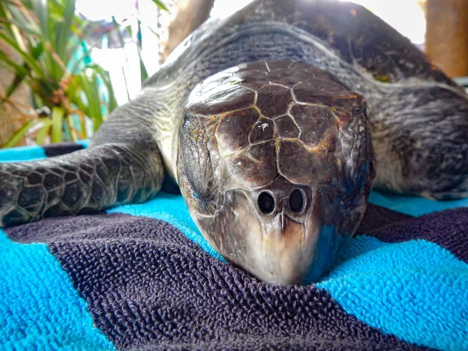 Erica injured Olive Ridley turtle rescue Maldivesv
