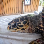 KG rescue Hawksbill turtle Marine Savers Maldives