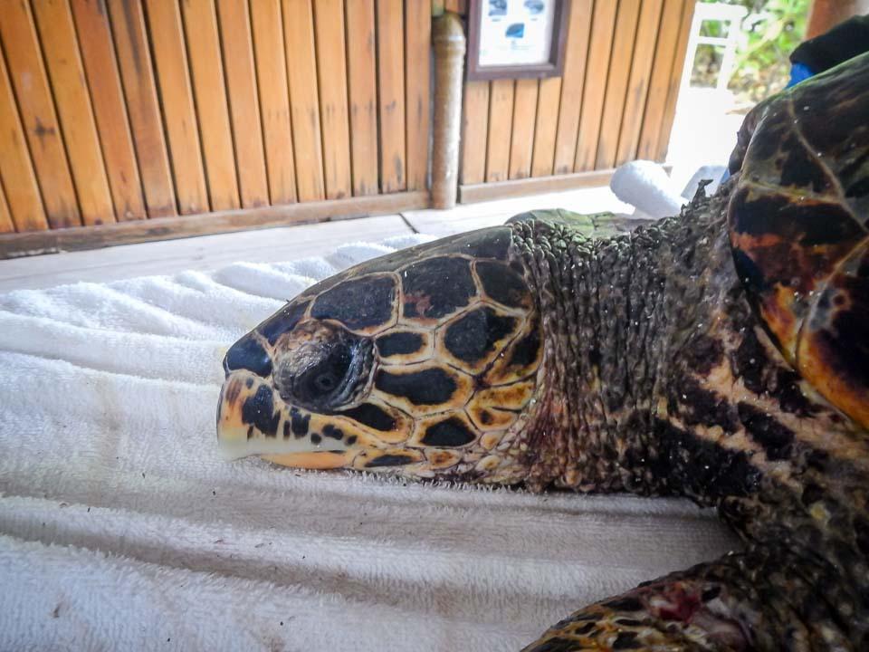 Moxa rescue sea turtle Marine Savers Maldives (3) [960px]