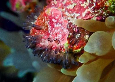 Marine Savers - Maldivian anemonefish eggs at day3
