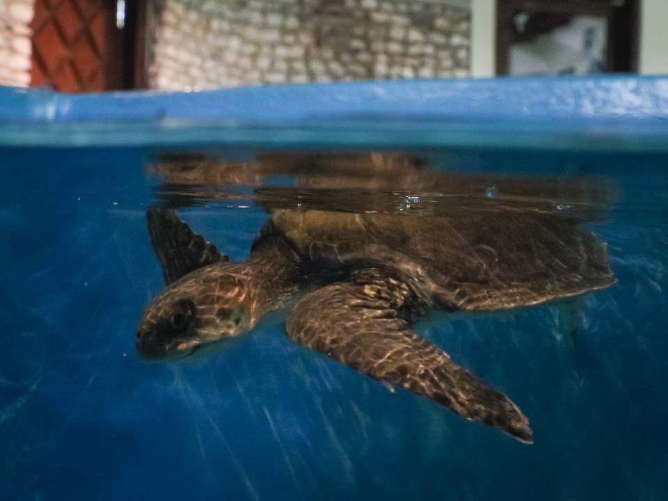 Moxa rescue sea turtle Marine Savers Maldives (1) [960px]