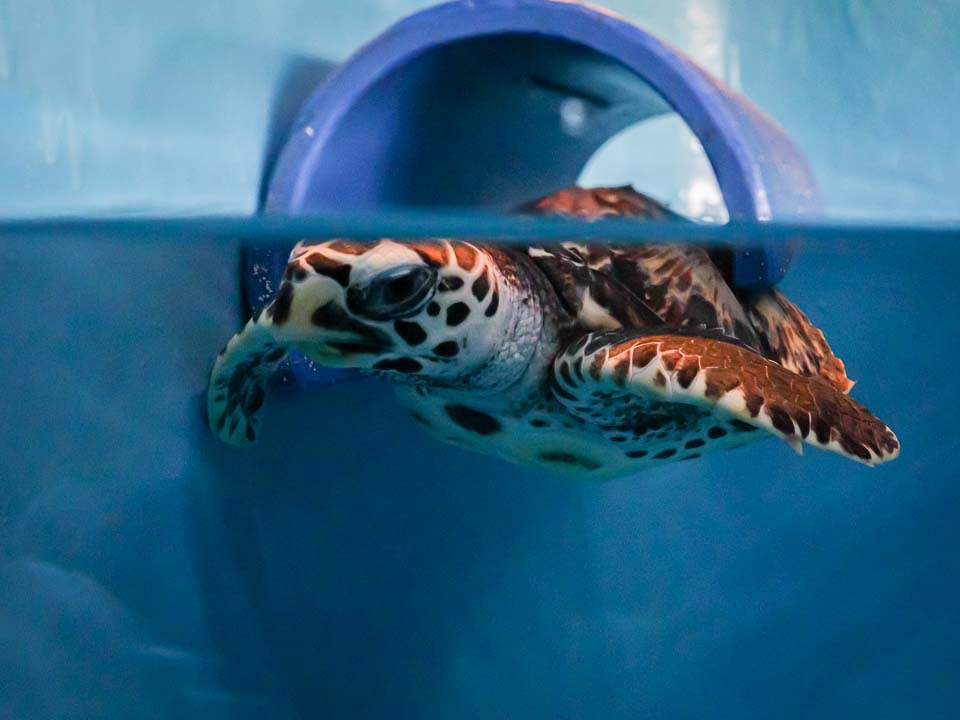 Muffin rescue sea turtle Marine Savers Maldives (5) [960px]