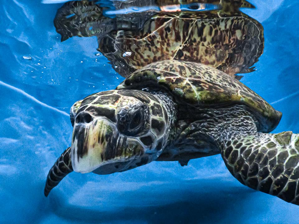 Nadiya rescue stranded Hawksbill turtle Maldives