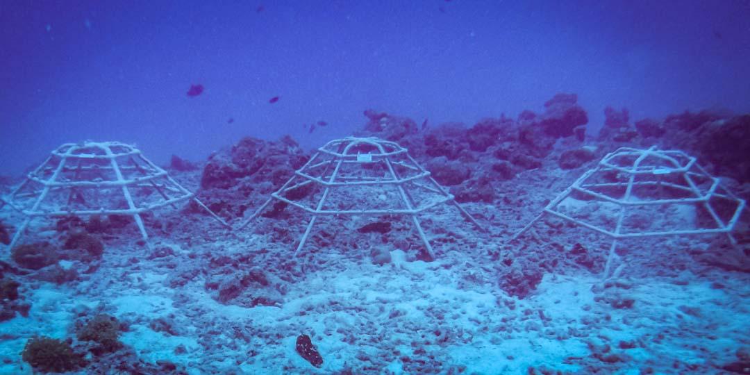 Olivia - marine internship Reefscapers Maldives outplanted coral frames