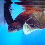 Sadamo olive ridley rescue turtle Maldives