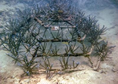Acropora aspera (1) coral frame Reefscapers Maldives