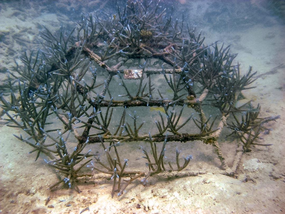 Acropora aspera coral frame