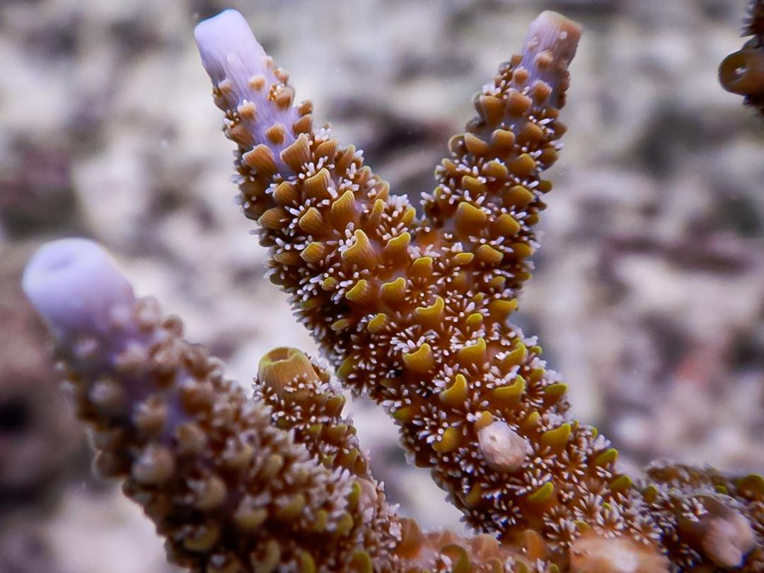 Acropora aspera corallites closeup