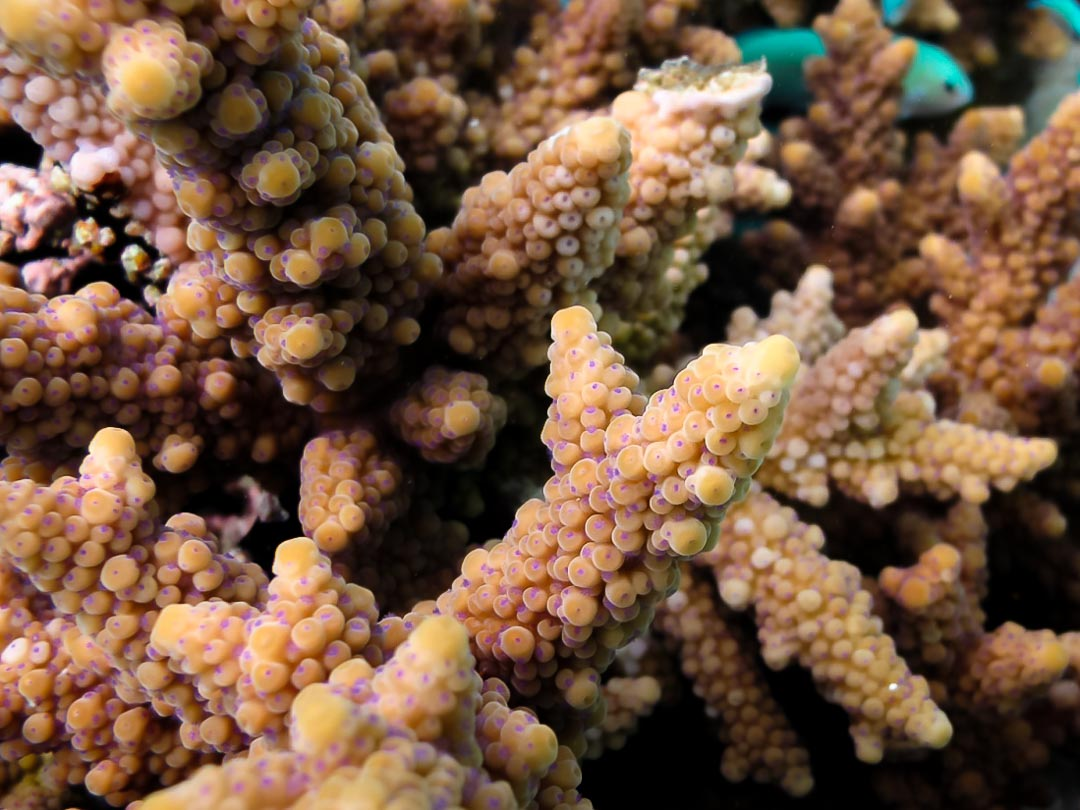 Acropora hemprichii purple polyps and dome-shaped axial corallites