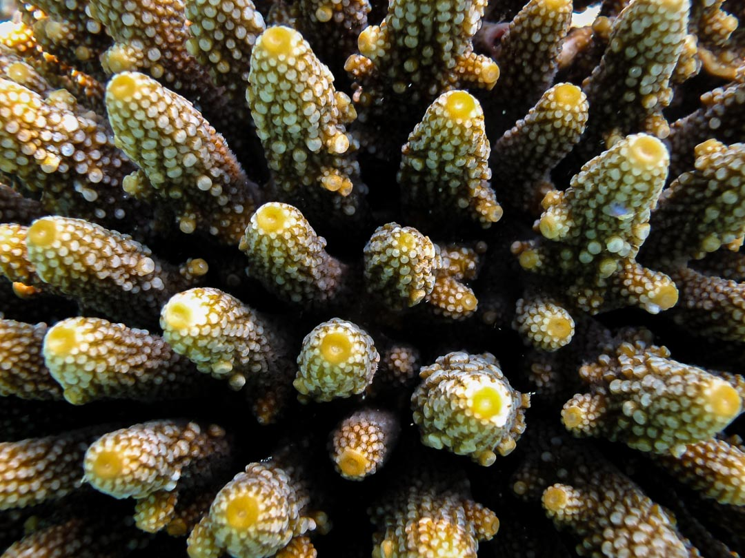 Acropora humilis brown-green 2 sizes corallites