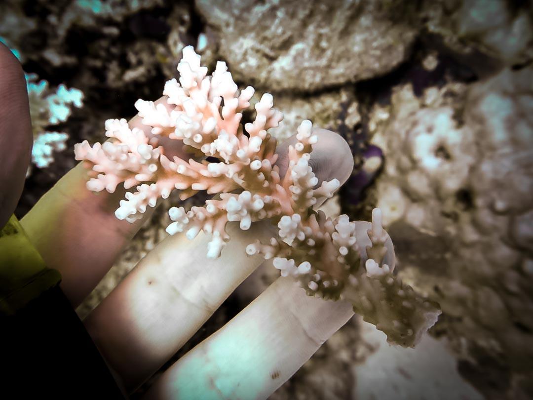 Acropora valida coral fragment