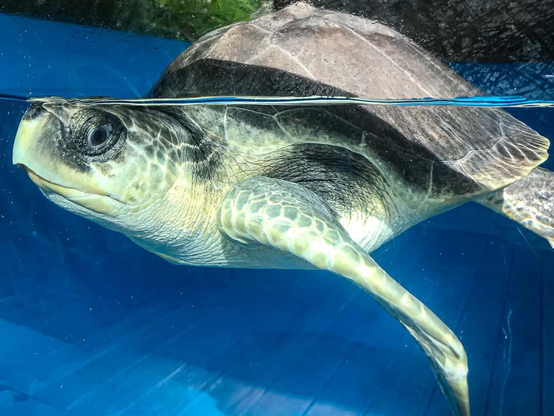 April – Olive Ridley rescue turtle Marine Savers Maldives 2 (10.2019) [1080]