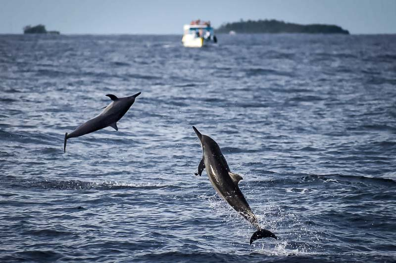 Dolphin ID Maldives - Spinners leaping from the water (Sept 2019)