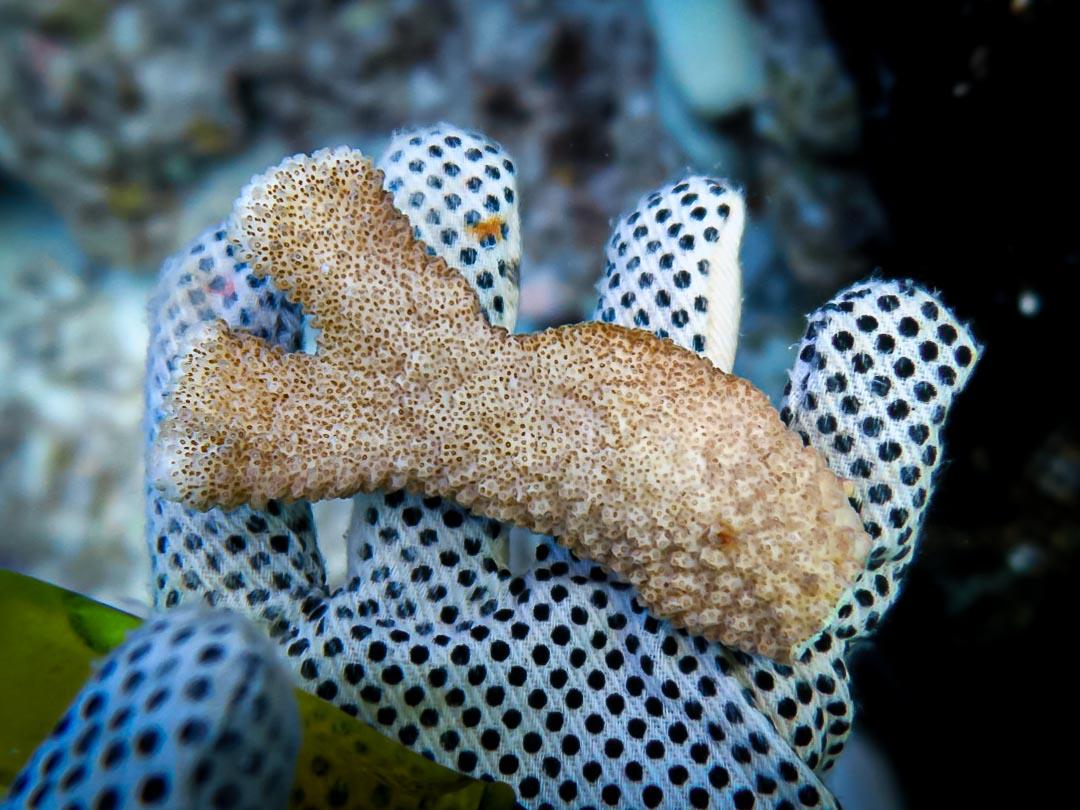 Pocillopora meandrina coral branch