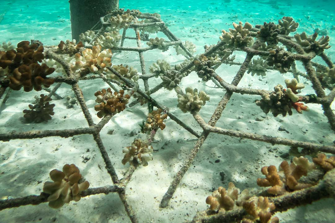 Reefscapers coral reef propagation Maldives - relocating frames by Volunteers