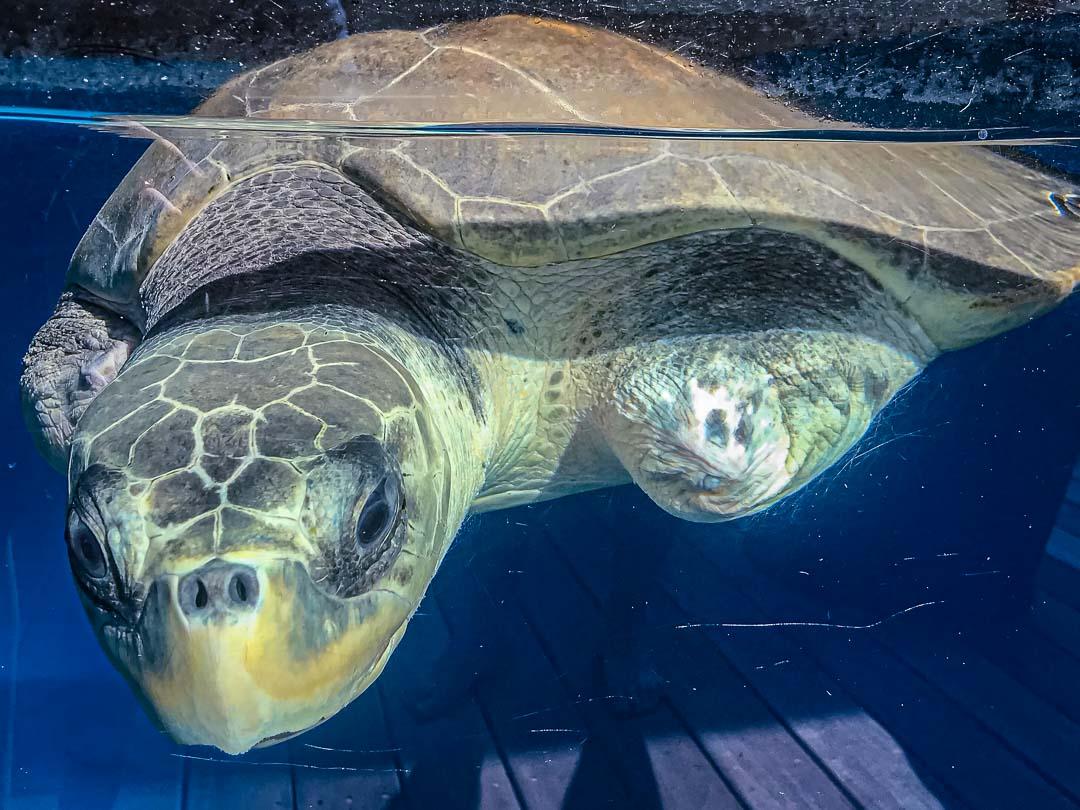 Taco – Olive Ridley rescue turtle Marine Savers Maldives (10.2019) [1080]