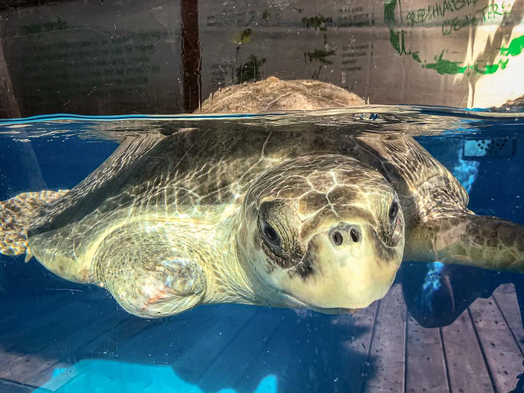Varu – Olive Ridley rescue turtle Marine Savers Maldives 2 (10.2019) [1080]