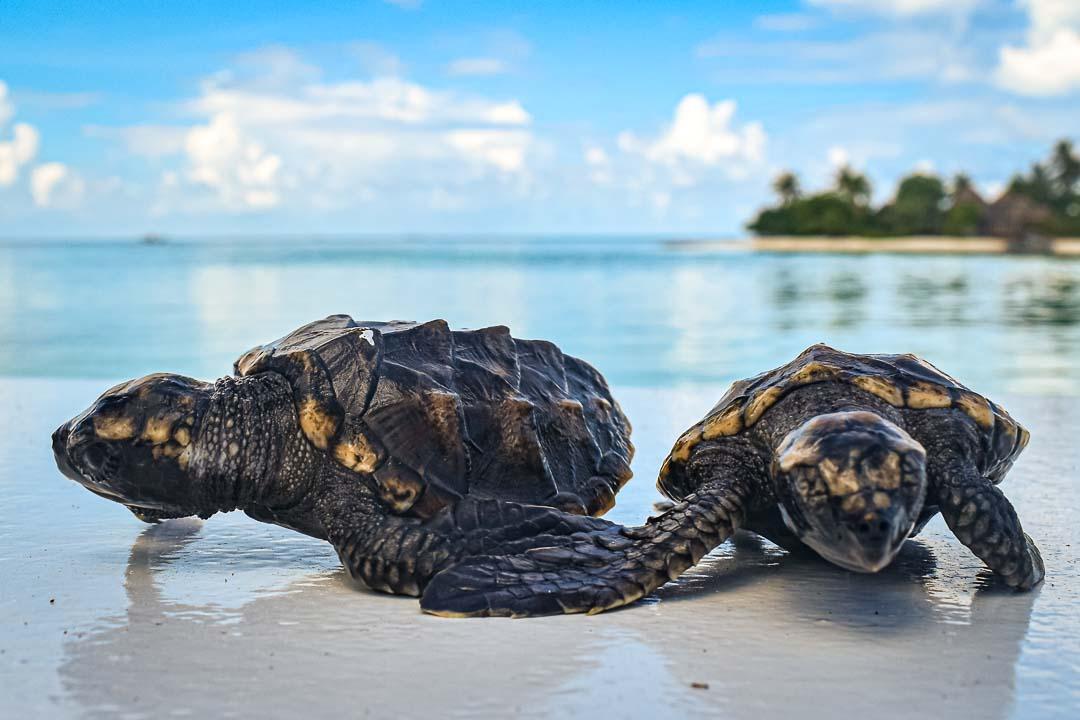 Ali and Mizu turtle hatchlings Maldives