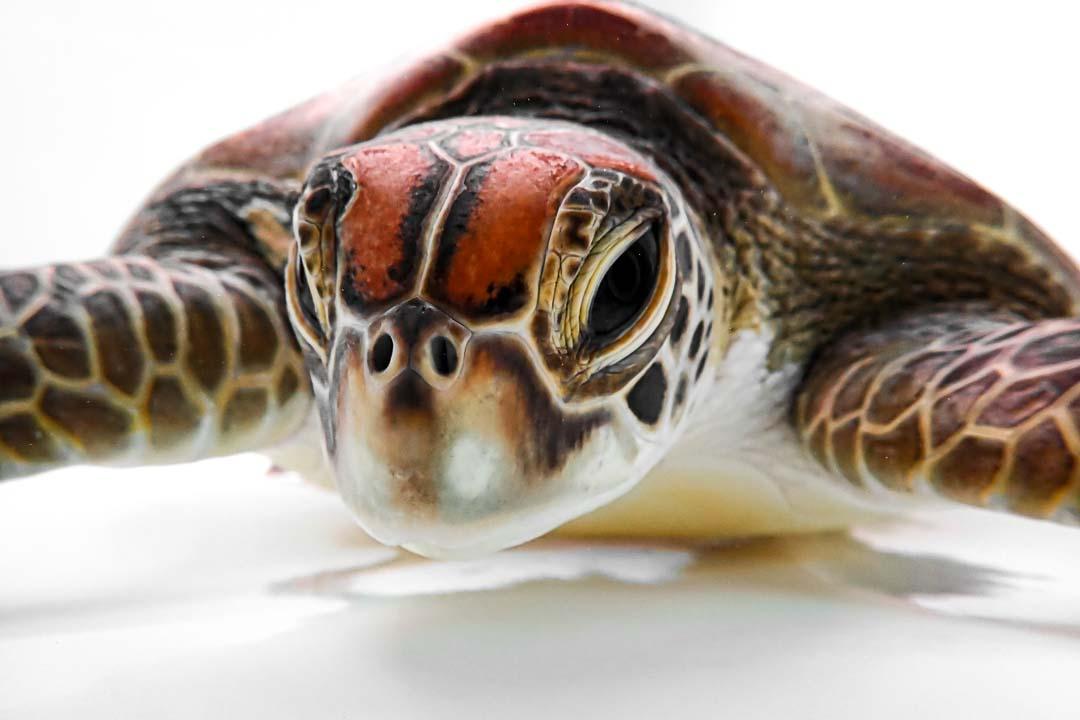 Amal rescued green turtle Marine Savers Maldives