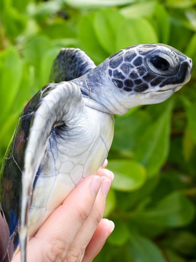 Fajita Green turtle hatchling Maldives