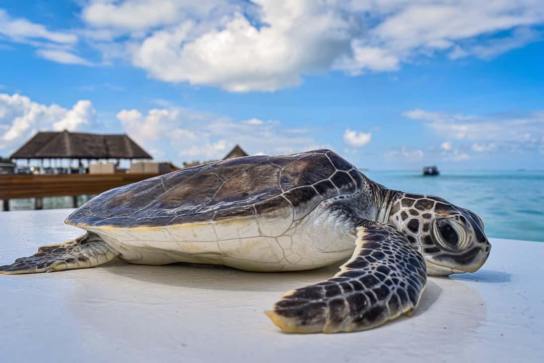 Franklin green turtle hatchling Maldives