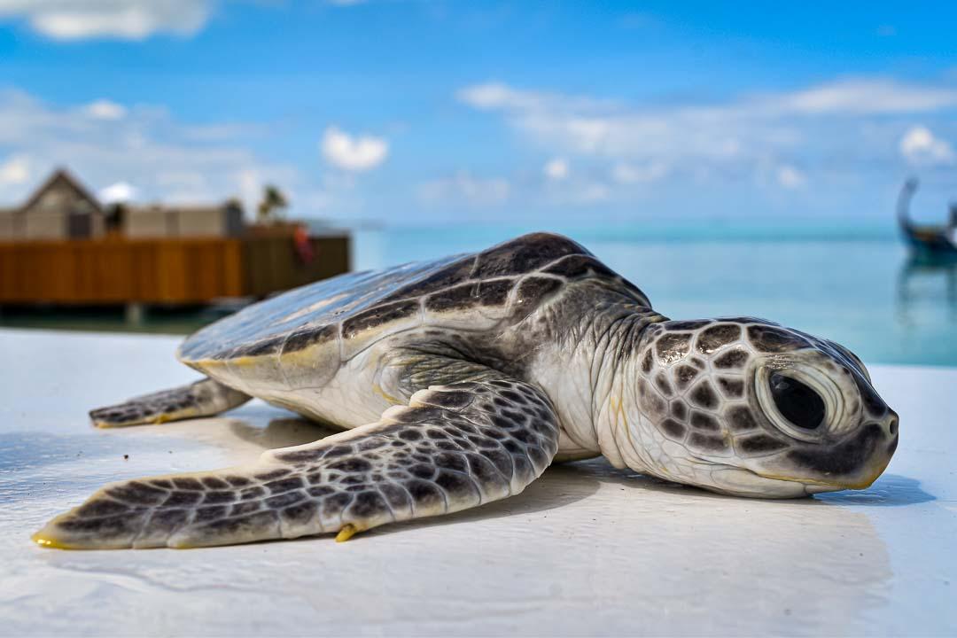 Fussy green turtle hatchling Maldives