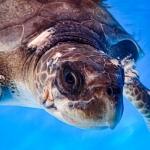 Iman stranded Olive Ridley turtle Maldives