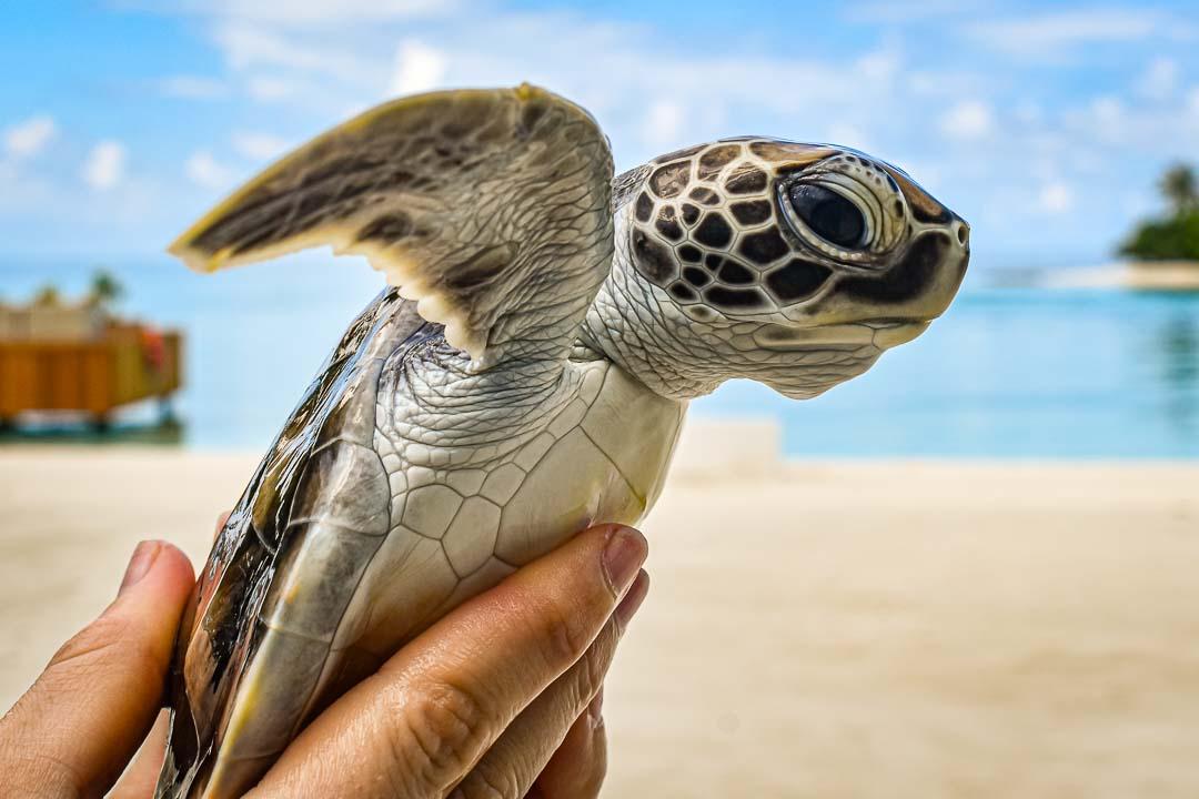 Pepe green turtle hatchling Maldives
