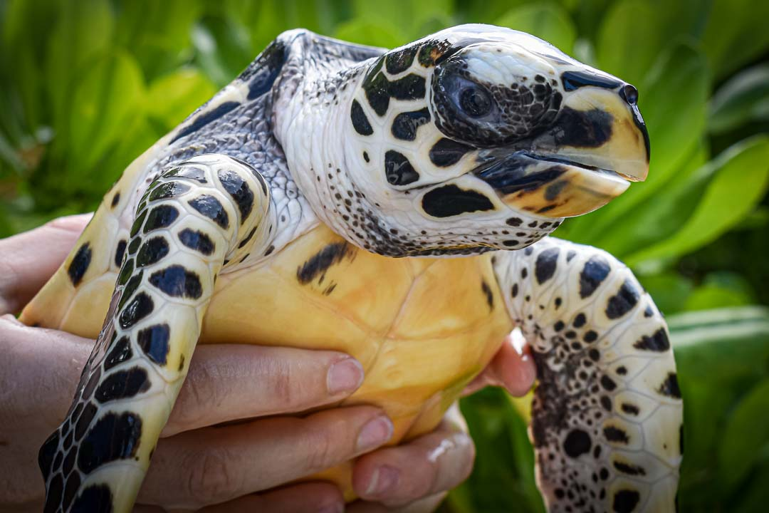 Quasi hawksbill turtle hatchling Maldives