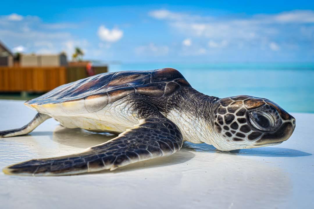 Sunset green turtle hatchling Maldives