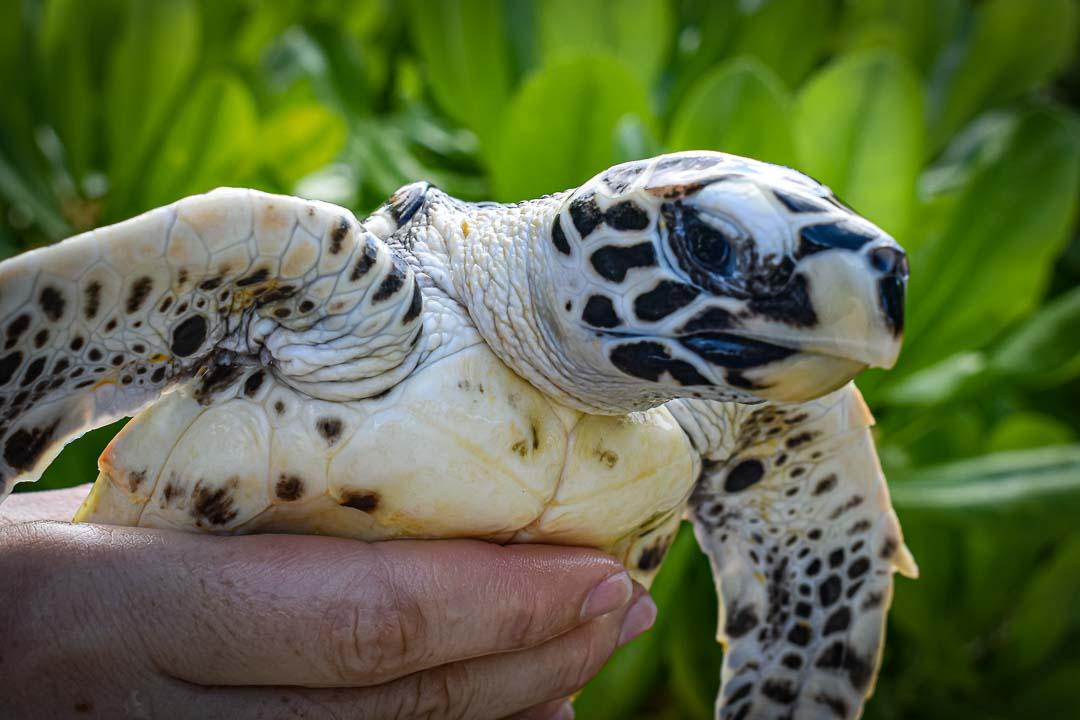 Toby rescue sea turtle Marine Savers Maldives (2) [960px]