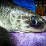 Aisha stranded Olive Ridley turtle rescued Maldives