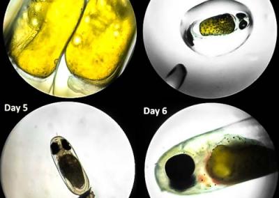 Aquarium Maldivian Anemonefish (Amphiprion nigripes) egg development