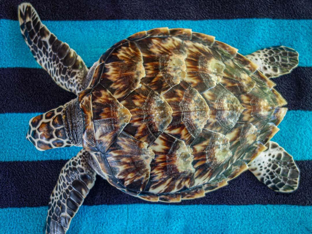 Cookie Hawksbill turtle Maldives
