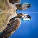 Jahura rescued Olive Ridley turtle Maldives