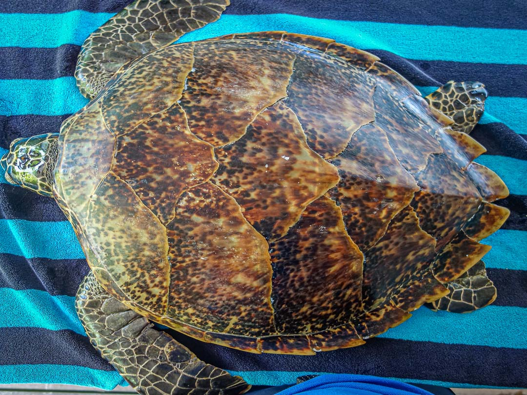 Nadiya - rescue Hawksbill turtle Marine Savers Maldives