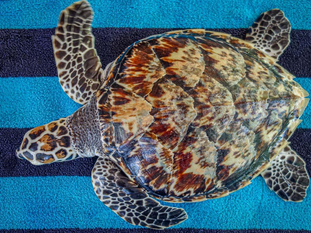 Purp - rescue Hawksbill turtle Marine Savers Maldives