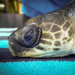 Zaby rescue Olive Ridley turtle stranded Maldives