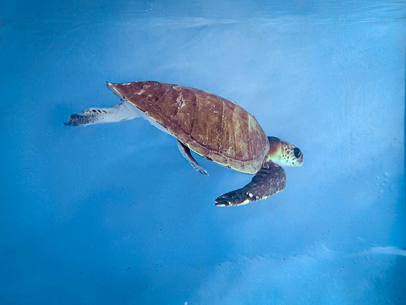 Zubeen rescued Olive Ridley turtle Maldives