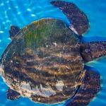 Hulk stranded Olive Ridley turtle Maldives