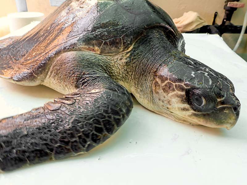 Fabia stranded Olive Ridley turtle Maldives