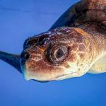 Luchi stranded Olive Ridley turtle Maldives