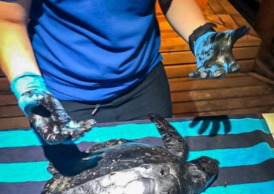 Tara sea turtle covered in tar Fuvahmulah Maldives
